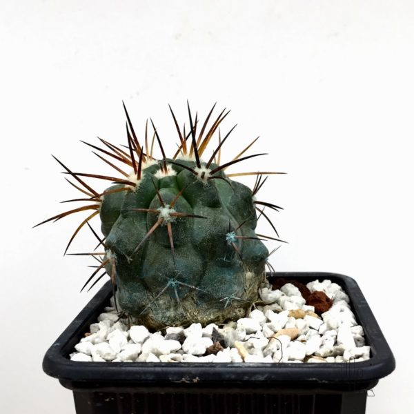 Copiapoa alticostata