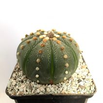 Astrophytum sp