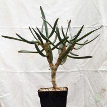 Succulents sp
