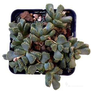 Aloinopsis luckhofii