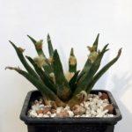 Ariocarpus agavoides 1081B