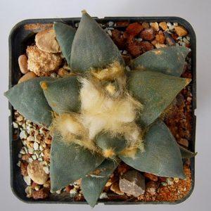 Ariocarpus retusus CSD132 L