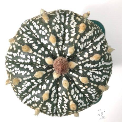 Astrophytum asterias cv. superkabuto 99382