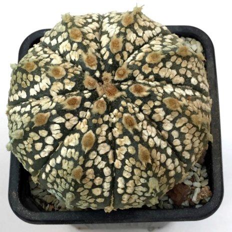 Astrophytum asterias superkabuto x capricorne A