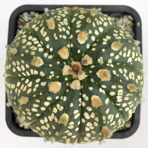 Astrophytum asterias superkabuto x capricorne