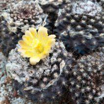 cactus A - L