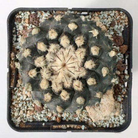 Copiapoa humilis ssp tenuissima