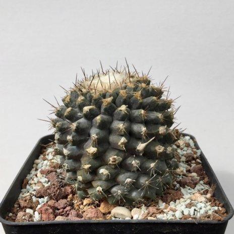 Copiapoa tenuissima G