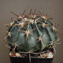 Echinocactus sp