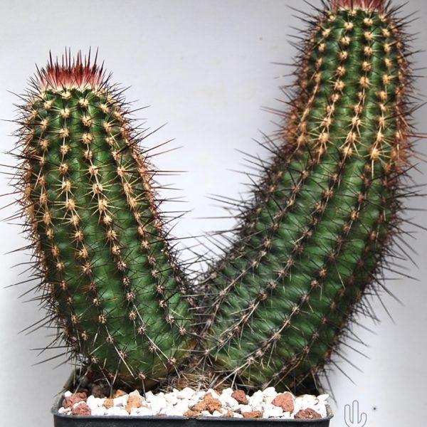 Echinocereus engelmanni