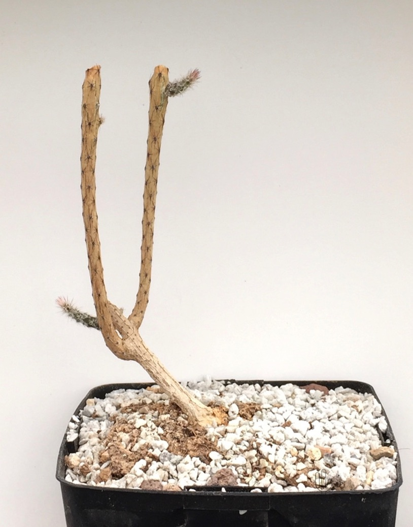 Peniocereus viperinus