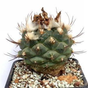 Turbinicarpus laui 99193b